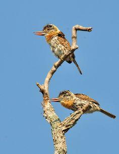 rapazinho-do-chaco (Nystalus striatipectus) por Rodolfo Viana | Wiki Aves - A Enciclopédia das Aves do Brasil