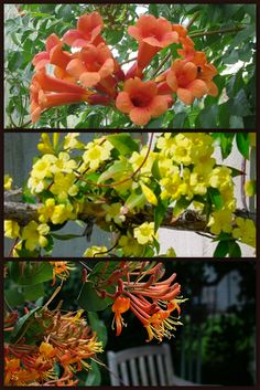 The flowering vine is an emblem of the Tree of Life. Among the vines you may want to plant are those which bear aromatic flowers, such as trumpet vine (Campsis), jasmine (Jasminum) and honeysuckle (Lonicera) Buy Plants, Garden Plants, Outdoor Plants, Outdoor Gardens, Carolina Jasmine, Houston Garden, Jasmine Vine, My Secret Garden, Secret Gardens