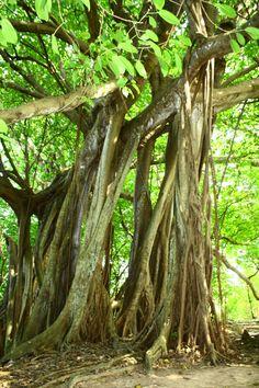 Árbol que Camina es un ejemplar de la familia Moraceae, del género Ficus; su especie es conocida vulgarmente como matapalo. Con sus raíces aéreas ha logrado crear una multitud de nuevos troncos, dando la sensación de ser la fusión de muchos árboles en uno, entonces es un árbol-bosque algo muy especial y poco frecuente lo que lo convierte en una de las mayores atracciones de la isla.
