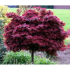 Acer Shaina - Japanese Maple    On my list for color and just love their leaf structure. A joy to see in every season.