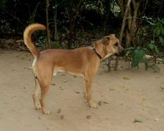 10 Indian Dog Breeds That Are Dying Out Because Of Our Obsession With Foreign Dogs - Kombai : These friendly dogs are found in and around Tamil Nadu and are considered an extremely loyal, intelligent and powerful native breed. Unique Dog Breeds, Rare Dog Breeds, Dog Breeds List, Popular Dog Breeds, Shetland Sheepdog, All Dogs, Dogs And Puppies, Reptiles And Amphibians, Mammals