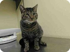 Staten Island, NY - Domestic Shorthair. Meet TAZ a Cat for Adoption.