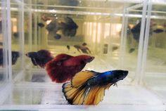 Уважаемые посетители салона AquaHouses, сообщаем Вам об обновлении асортимента в магазине аквариумов в Раменском. Вуалевые петушки Привезли особенных петушк