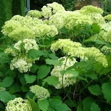 Official - Highgrove House and Gardens, the private residence of Their Royal Highnesses The Prince of Wales and The Duchess of Cornwall. Hydrangea Arborescens Annabelle, Alchemilla Mollis, Best Perennials, Royal Garden, Shades Of Green, Yellow Flowers, Lady, New England, Seeds