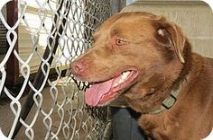 Henderson, NC - Labrador Retriever/Shepherd (Unknown Type) Mix. Meet Coco a Dog for Adoption.