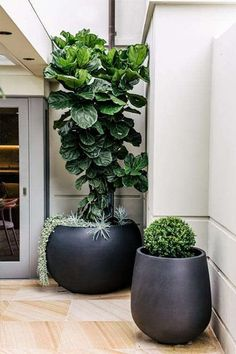 Large Contemporary Plant Pots Modern Indoor Plant Pots Uk Modern Indoor Plant Pots Pot Belly Planter With A Fiddle Leaf Fig Ficus Lyrata And A Japanese Box By Harrison Landscaping Large Outdoor Planters, Indoor Plant Pots, Outdoor Pots, Indoor Garden, Outdoor Gardens, Large Indoor Plants, Black Planters, Green Plants, Plants In Pots