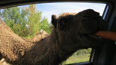 QC - Hemmingford - Parc Safari - 1 of 25 - Safari Aventure - Part. 1