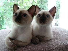 Photo of Tonkinese Kittens Ukko & Zeus Cutest Kitten Breeds, Cat Breeds, Kittens Cutest, Cats And Kittens, Cute Cats, Adorable Dogs, Tonkinese Kittens, Siamese Cats, Balinese Cat