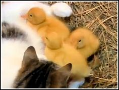 The Cat And The Ducklings : Video Clips From The Coolest One