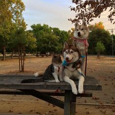 Three Huskies Are Inseparable Best Friends with a Dying Kitten They Nurtured Back to Health - My Modern Met