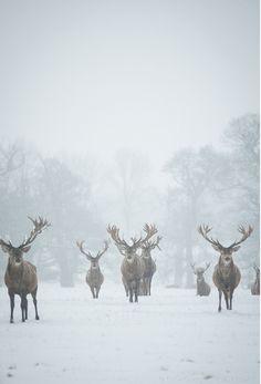 pack,deer,snow,trees,beautiful,nature