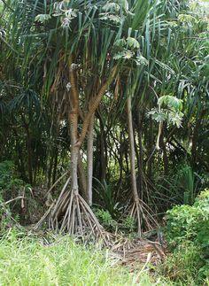Pandanus tectorius - Hala, Tahitian Screwpine, Pu Hala, Screw Pine, Textile Screwpine, Thatch Screwpine, Pandanus, Pandan, Tourist Pineapple, Pineapple Tree - Hawaiian Plants and Tropical Flowers