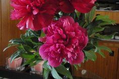 Prekrasni crveni božuri u vazi na stoliću