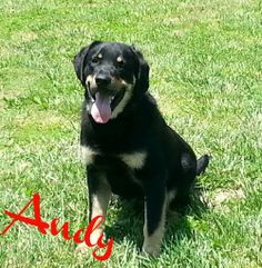 Andy is an 8 month old rott mix that is good with other dogs and kids. He is new to FPO so watch for updates! www.fosterpetoutreach.org @FPOPets on twitter  or on FB adopted 6.25.14