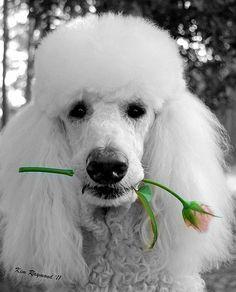 White Poodle, Tea Beyond