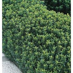 euonymus microphyllus hedge - Google Search