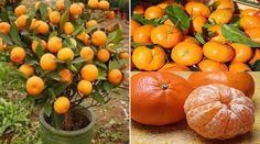 La mandarine est un fruit délicieux que l'on consomme souvent en hiver, notamment vers Noël.Son nom latin est Citrus reticulata. La version sans pépinest appelée cl&eac