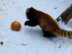 Red panda freaking out over a pumpkin