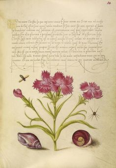 [folio 79r] Joris Hoefnagel (illuminator) [Flemish / Hungarian, 1542 - 1600], and Georg Bocskay (scribe) [Hungarian, died 1575], Insect, Sweet William, Spider, Marine Mollusk, and Eye of Santa Lucia, Flemish and Hungarian, 1561 - 1562; illumination added 1591 - 1596, Watercolors, gold and silver paint, and ink on parchment, Leaf: 16.6 x 12.4 cm (6 9/16 x 4 7/8 in.), 86.MV.527.79.