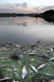 Dead fish from eutrophication (non-organic)