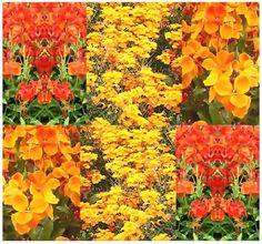 1000 ENGLISH WALLFLOWER Flower Seeds Fragrant Bloom SUN or SHADE BORDER BEDDINGS *** Click image for more details.