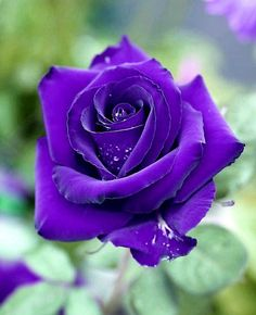Beautiful Rose Flowers, Most Beautiful, Hybrid Tea Roses, Single Rose, Purple Roses, Favorite Color, Home And Garden, Plants, Sunflowers