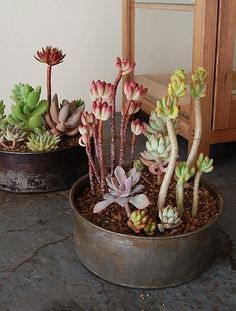 This is what I am doing to mine, since many froze and died during the cold desert nights in my sunroom. The survivors are now indoors until the warm Spring.