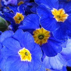 Primavera blava
