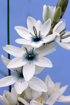 Ixia monadelpha - This South African Cape native bulb creates quite the dazzling display in March & April. Unusual Flowers, Amazing Flowers, White Flowers, Beautiful Flowers, African Plants, African Flowers, Dame Nature, Indoor Flowering Plants, Plant Fungus