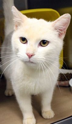 Available: 12/9 NAME: Gilbert  ANIMAL ID: 24456346 BREED: DSH  SEX: Male  EST. AGE: 2 yrs  Est Weight: 5.14 lbs Health:  Temperament: friendly-  ADDITIONAL INFO:  RESCUE PULL FEE: $39