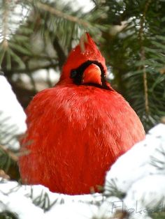 """Great Balls Of Fire"" in Southern Ontario, Canada...male cardinal"