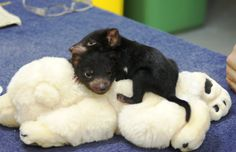 Tasmanian devils are pretty cute when they are young!