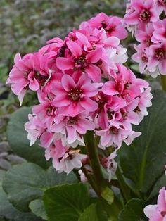 Bergenia 'Sakura' (20)ct Flat