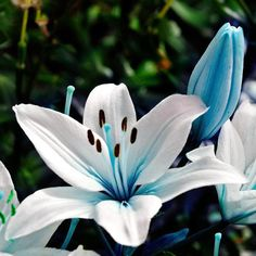 Blue Heart Lily Bulbs, Blue Lily Bulbs, 2 to 10 pcs Not Seeds, Rare Lily Flower Bonsai Plant Rare Flowers, Bulb Flowers, Edible Flowers, Exotic Flowers, Beautiful Flowers, Lilies Flowers, Blue Lilies, Tiger Lily Flowers, Asian Lilies