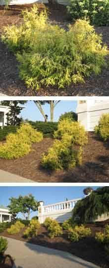 Gold Mop Cypress