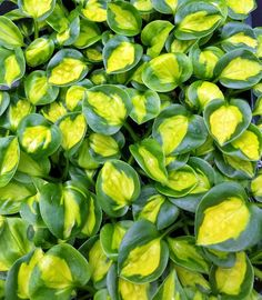 Monday's Plant of the Day! Hosta 'Pocketful of Sunshine'! http://ss1.us/a/vnQwZgo3