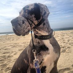 Brax, blue Merle Great Dane