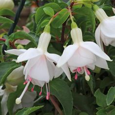 Fuchsia 'Buds of May - White Gold'