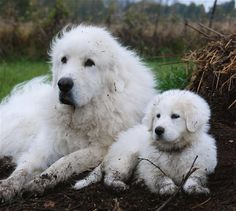 Great Pyrenees know how to have fun in the dirt...