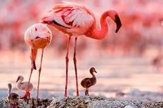 Anneler ile yavru Flamingolar
