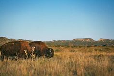 Part of the state's official herd, 90 bison roam the range at Caprock Canyons State Park.