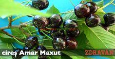 cireș Amar Maxut Paradis, Garden, Te Amo, Horsehair, Plant, Garten, Lawn And Garden, Gardens, Gardening