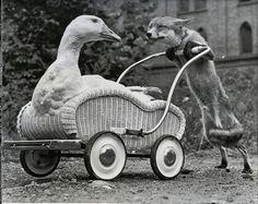 Vintage Swan pram being pushed by a Fox.