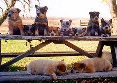 Puppies from Bluespirt Kennels
