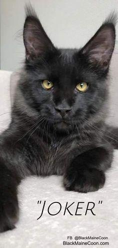 "Handsome ""Joker"" a black Maine coon cat Maine Coon Cats, Black Cats, Funny Cute, Joker, Handsome, Pictures, Animals, Beautiful, Photos"
