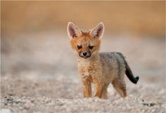 Cape fox cub.  photo by Valerie Blanca. Jason says adorable