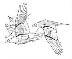 Biophysics of bird flght
