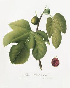 Briansole figs (Ficus carica sativa) from Pomona Italiana (1817 - 1839) by Giorgio Gallesio (1772-1839). | free image by rawpixel.com