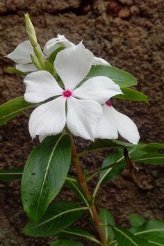 De vermelho e branco ela se enfeita. #flor #flower #avinca #floravinca #avincabranca
