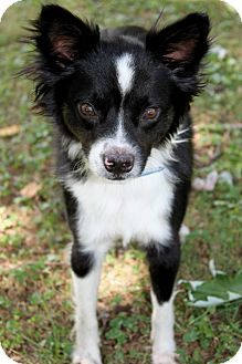 chihuahua border collie mix